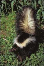Striped skunk - photo from Texas Parks and Wildlife Division website