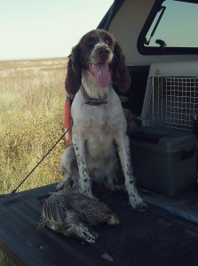 ABBEY - a morning's good bird work results in one sharptail grouse, one prairie chicken and one proud  French spaniel.