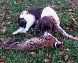 Abbey inspects her first pheasant - the only bird we bagged on opening day 2014.