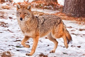 Coyote - Canis latrans. Photo from the website of  the Maine Department of Inland Fisheries and Wildlife