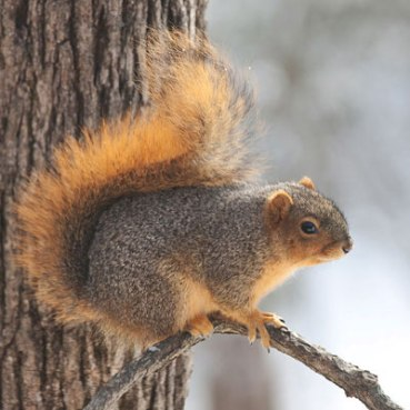 Eastern-Fox-Squirrel_0921sm