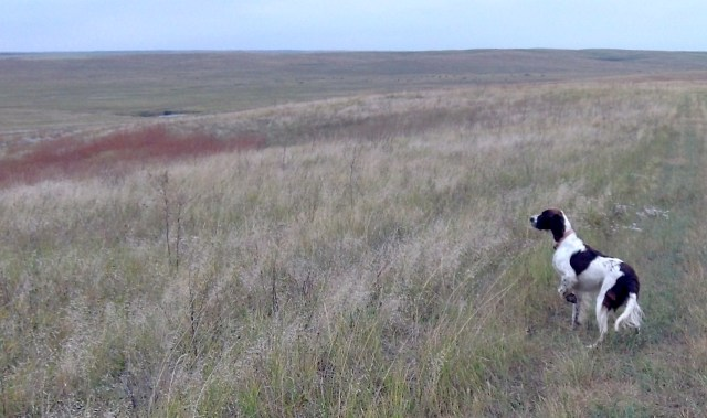 Why we hunt the Dakota grasslands: a single photo of Abbey, taken with a pocket sportcam. Beautiful country, beautiful dog, beautiful day. Here's hoping we have a few more hunting trips like this before then end.