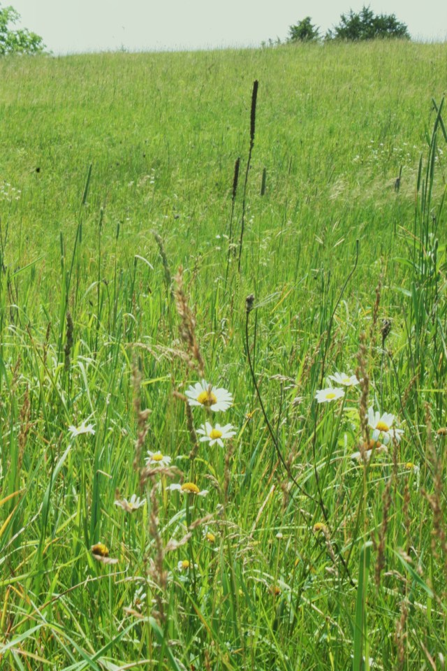 Clusters of wildl flowers I call prairie daisies dot our hay field in early summer. My wife Patti tells me their true name is oxeye daisy.