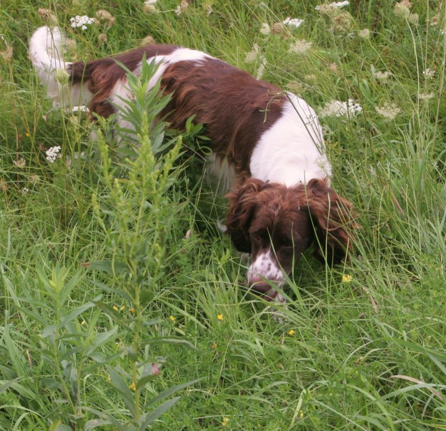 Abbey creeps on point when pheasants run. It took her a couple years to learn this, but she's really good at it now.
